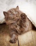 Καφετί βρετανικό μακρυμάλλες γατάκι Στοκ Εικόνα