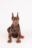 Καφετί εκπαιδευμένο σκυλί με τα λαμπρά μάτια Στοκ εικόνες με δικαίωμα ελεύθερης χρήσης