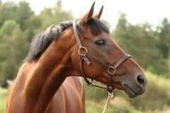 καφετί επικεφαλής άλογο Στοκ Εικόνες