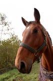 καφετί επικεφαλής άλογ&omic Στοκ Εικόνες
