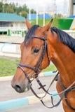 Καφετί επικεφαλής άλογο ιπποδρόμων στο λουρί Στοκ Φωτογραφία