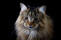 Καφετί επικεφαλής πορτρέτο γατών Στοκ Εικόνες