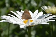 καφετί λιβάδι πεταλούδω&nu Στοκ Εικόνες
