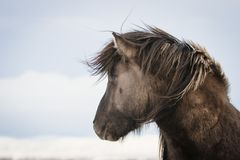 Καφετί ισλανδικό άλογο στο χιόνι στοκ εικόνες