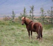 Καφετί ισλανδικό άλογο με τον ξανθό Μάιν Στοκ φωτογραφία με δικαίωμα ελεύθερης χρήσης