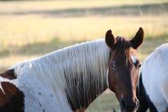 Καφετί και άσπρο άλογο στοκ εικόνα