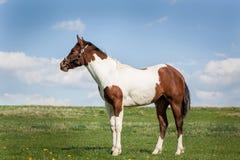 Καφετί και άσπρο άλογο Στοκ φωτογραφία με δικαίωμα ελεύθερης χρήσης