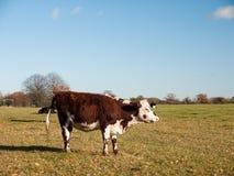 Καφετί και άσπρο αγελάδων στενό επάνω σημαδιών ημερολόγιο εδάφους χλόης άποψης πράσινο Στοκ φωτογραφία με δικαίωμα ελεύθερης χρήσης