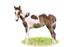 Καφετί και άσπρο foal που απομονώνεται Στοκ εικόνες με δικαίωμα ελεύθερης χρήσης