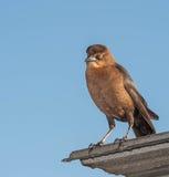 Καφετί κοίταγμα πουλιών Στοκ εικόνα με δικαίωμα ελεύθερης χρήσης