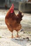 Καφετί κοτόπουλο που στέκεται στην αγροτική περιοχή Στοκ εικόνα με δικαίωμα ελεύθερης χρήσης