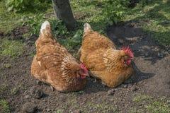 καφετί κοτόπουλο δύο Στοκ Εικόνες
