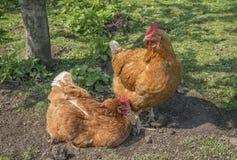 καφετί κοτόπουλο δύο Στοκ Φωτογραφία