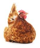 Καφετί κοτόπουλο Στοκ εικόνες με δικαίωμα ελεύθερης χρήσης