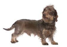 καφετί μαλλιαρό καλώδιο dachshund Στοκ εικόνα με δικαίωμα ελεύθερης χρήσης