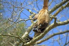 Καφετί μαργαριτάρι ή καφετής ουρλιάζοντας πίθηκος Στοκ εικόνα με δικαίωμα ελεύθερης χρήσης