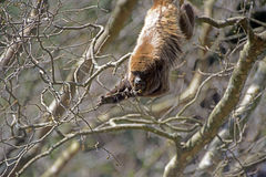 Καφετί μαργαριτάρι ή καφετής ουρλιάζοντας πίθηκος Στοκ φωτογραφία με δικαίωμα ελεύθερης χρήσης