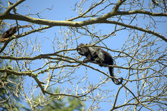Καφετί μαργαριτάρι ή καφετής ουρλιάζοντας πίθηκος Στοκ Εικόνες