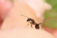 καφετί μυρμήγκι που σέρνεται σε ετοιμότητα Στοκ Φωτογραφίες