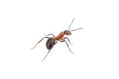 Καφετί μυρμήγκι σε ένα άσπρο υπόβαθρο Στοκ φωτογραφία με δικαίωμα ελεύθερης χρήσης