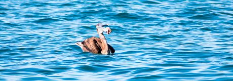 Καφετί να ταΐσει πελεκάνων με τα εντόσθια ψαριών στο σημείο Lobos - Punta Lobos κοντά στην παραλία Cerritos στη Μπάχα Καλιφόρνια  Στοκ φωτογραφία με δικαίωμα ελεύθερης χρήσης