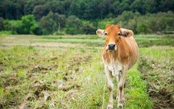 καφετί πεδίο αγελάδων Στοκ Εικόνες