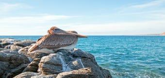 Καφετί πελεκάνων Καλιφόρνιας στο βράχο σε Punta Lobos στη Μπάχα Καλιφόρνια Μεξικό Στοκ φωτογραφίες με δικαίωμα ελεύθερης χρήσης