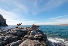 Καφετί πελεκάνων Καλιφόρνιας στο βράχο σε Punta Lobos στη Μπάχα Καλιφόρνια Μεξικό Στοκ εικόνες με δικαίωμα ελεύθερης χρήσης