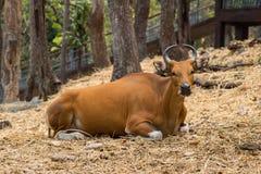 Καφετί πορτρέτο αγελάδων φωτογραφιών στο αγρόκτημα Στοκ Φωτογραφίες
