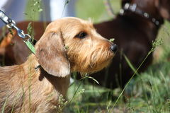 Καφετί πορτρέτο σκυλιών dachshund στο πάρκο Στοκ Φωτογραφίες