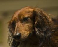 καφετί πορτρέτο dachshund Στοκ Εικόνες