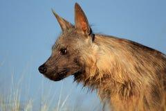 Καφετί πορτρέτο hyena Στοκ Εικόνα