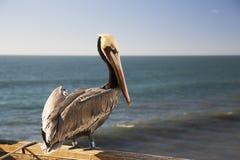 Καφετί πουλί πελεκάνων με τη ζώνη ετικεττών που στέκεται στην αποβάθρα Oceanside Στοκ Εικόνες