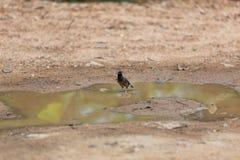 Καφετί πουλί στη λίμνη λάσπης Το κοινό αγιοπούλι ή τα ινδικά tristis Acridotheres αγιοπουλιών είναι καφετί πουλί με ένα μαύρο κεφ στοκ εικόνες