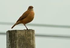 Καφετί πουλί που στέκεται σε έναν συγκεκριμένο πόλο Στοκ εικόνα με δικαίωμα ελεύθερης χρήσης