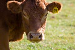 καφετί πρόσωπο αγελάδων Στοκ εικόνα με δικαίωμα ελεύθερης χρήσης