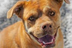 Καφετί πρόσωπο ενός ζωικού σκυλιού διάσωσης Στοκ φωτογραφίες με δικαίωμα ελεύθερης χρήσης