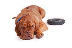 καφετί σκυλί λίγα συμπαθ Στοκ φωτογραφίες με δικαίωμα ελεύθερης χρήσης