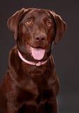 καφετί σκυλί Λαμπραντόρ στοκ φωτογραφία