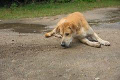Καφετί σκυλί που καθορίζει στο έδαφος στοκ φωτογραφία με δικαίωμα ελεύθερης χρήσης