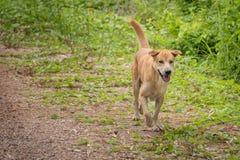 Καφετί σκυλί που τρέχει κατά μήκος του τομέα στοκ φωτογραφίες