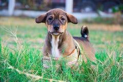 Καφετί σκυλί στο πάρκο στοκ φωτογραφίες με δικαίωμα ελεύθερης χρήσης