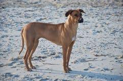καφετί σκυλί Στοκ εικόνες με δικαίωμα ελεύθερης χρήσης