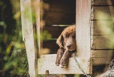 Καφετί σκυλί Lillte που βρίσκεται υπαίθρια στο ξύλινο σκυλόσπιτό του Στοκ Εικόνες
