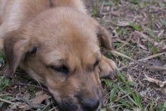 Καφετί σκυλί που κοιμάται κοντά επάνω, λίγο σκυλί στοκ εικόνα