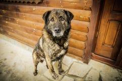 Καφετί σκυλί που φρουρεί την πόρτα Στοκ Εικόνες