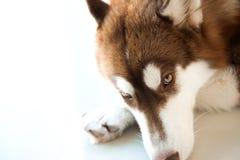 Καφετί σκυλί σκληροπυρηνικών Στοκ εικόνες με δικαίωμα ελεύθερης χρήσης