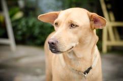Καφετί σκυλί Στοκ φωτογραφίες με δικαίωμα ελεύθερης χρήσης