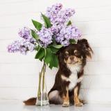 Καφετί σκυλί chihuahua με τα ιώδη λουλούδια Στοκ Εικόνες