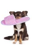 Καφετί σκυλί chihuahua που κρατά μια παντόφλα Στοκ Εικόνα